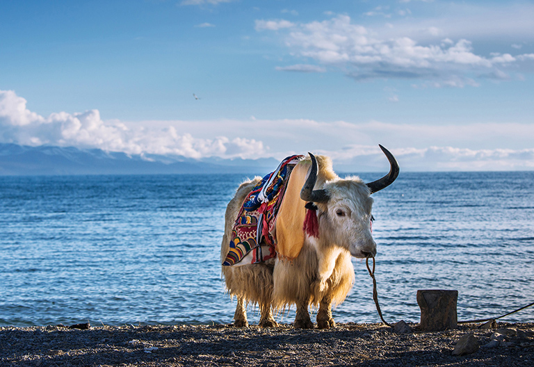 Tibetan Yak by the side of Namtso Lake