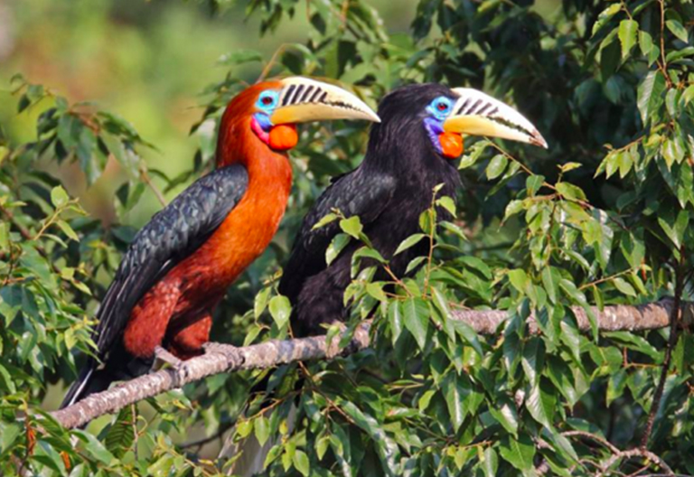 Beautiful Neck Hornbill