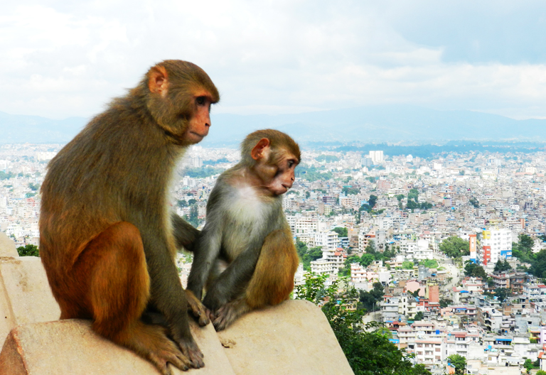Monkeys in Swayambhunath
