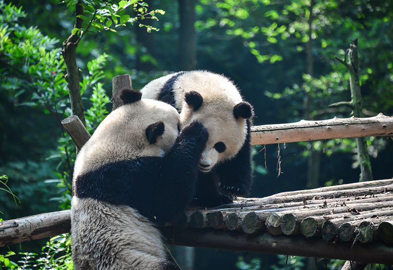 Adorable Giant Pandas