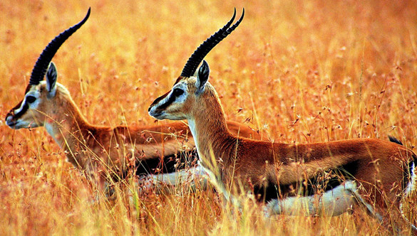 Number of Tibet Antelopes, Wild Asses Increases in Hol Xil Natural Reserve